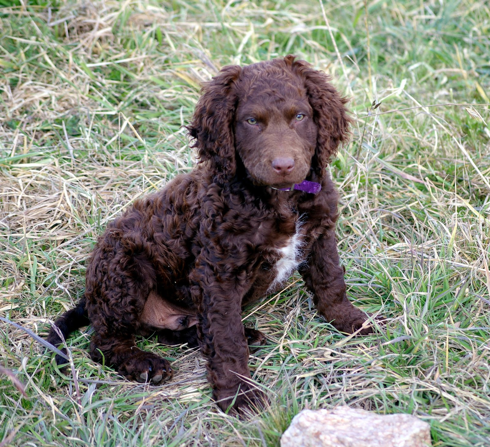 Murray River Curly Coated Retriever puppy wallpaper