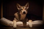 Mystery Saarlooswolfhond dog