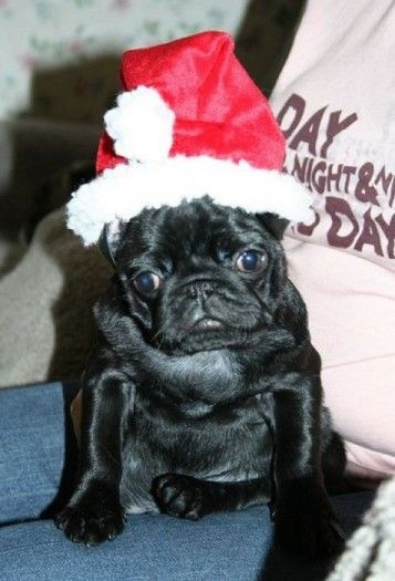New Year's Day black Pug wallpaper