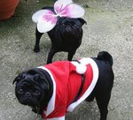 New Year's Day black Pugs