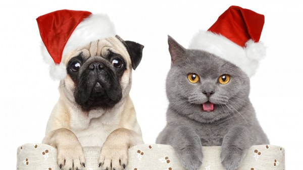 New Year's Day Pug and cat wallpaper