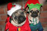 New Year's Day Pug dogs