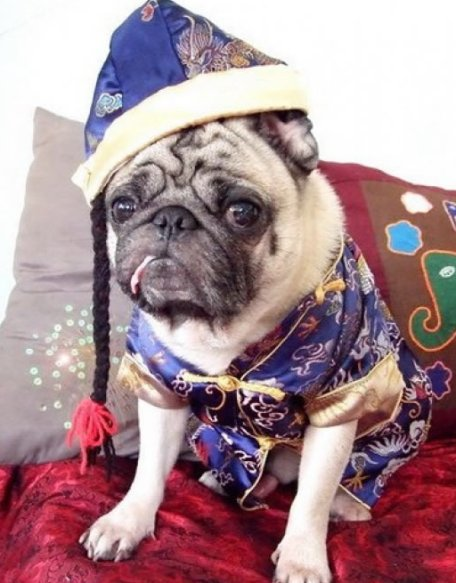 New Year's Day Pug in blue фото
