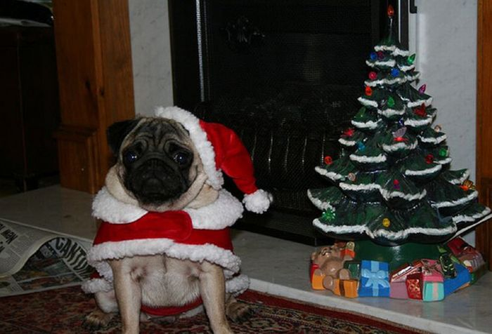 New Year's Day Pug  wallpaper