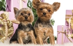 New Year's Day Yorkshire Terriers