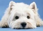 Nice white West Highland White Terrier dog