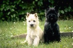 Nice Cairn Terrier dog picture