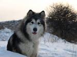 Nice adult Alaskan Malamute dog