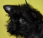 Nice Affenpinscher is looking at you