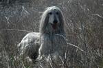Nice Afghan Hound