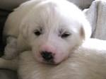 Nice Akbash puppy Sammy