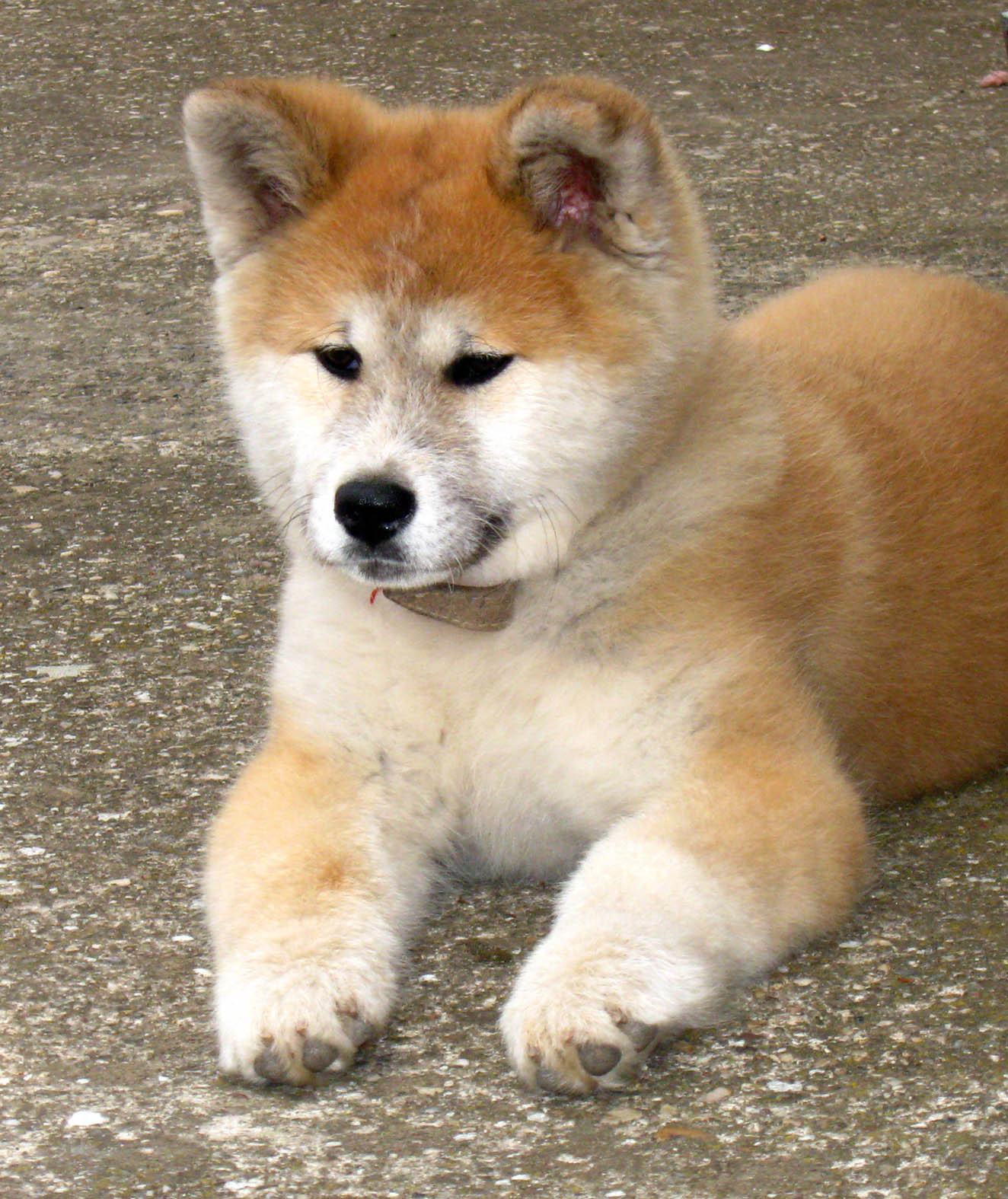 Nice Akita Inu At Rest Photo And Wallpaper Beautiful Nice