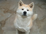 Nice Akita Inu looking at you
