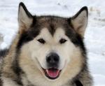 Аляскинский маламут Джек