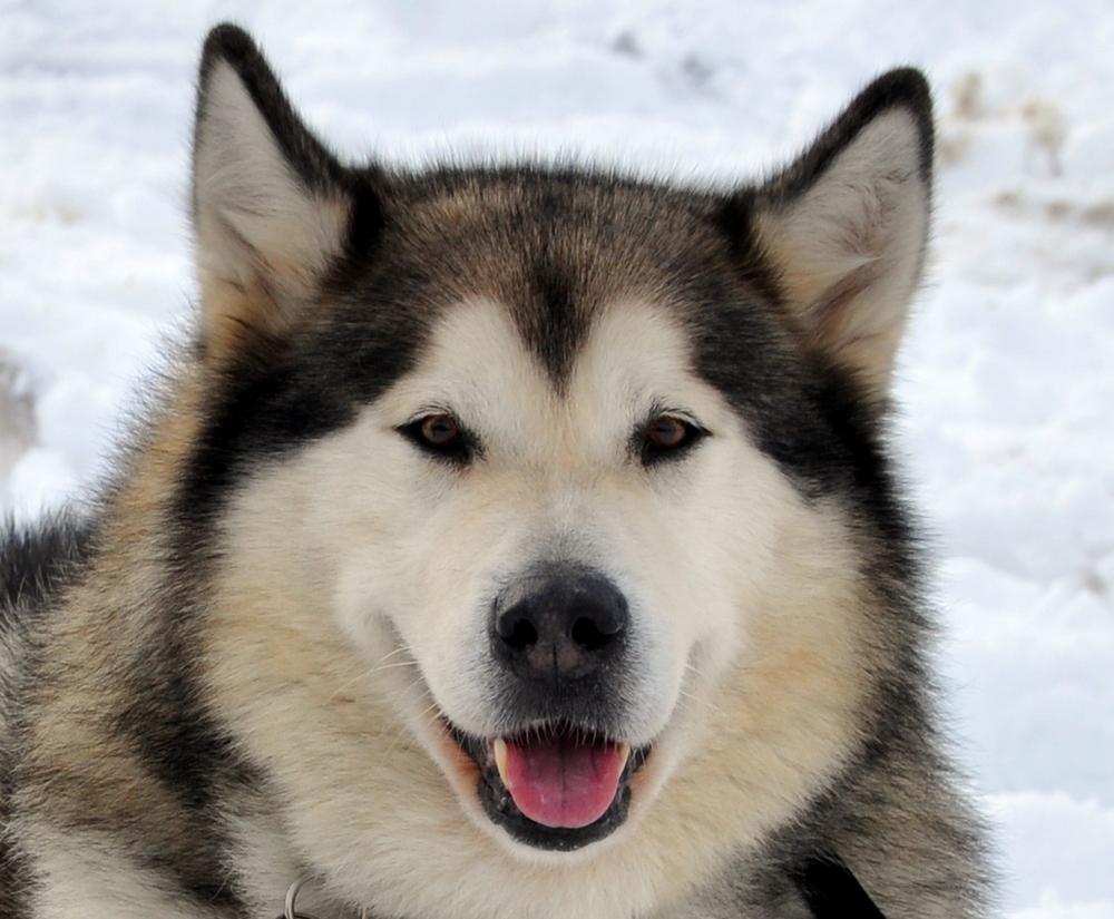 Аляскинский маламут Джек фото