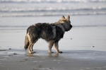 Nice American Alsatian on the seaside
