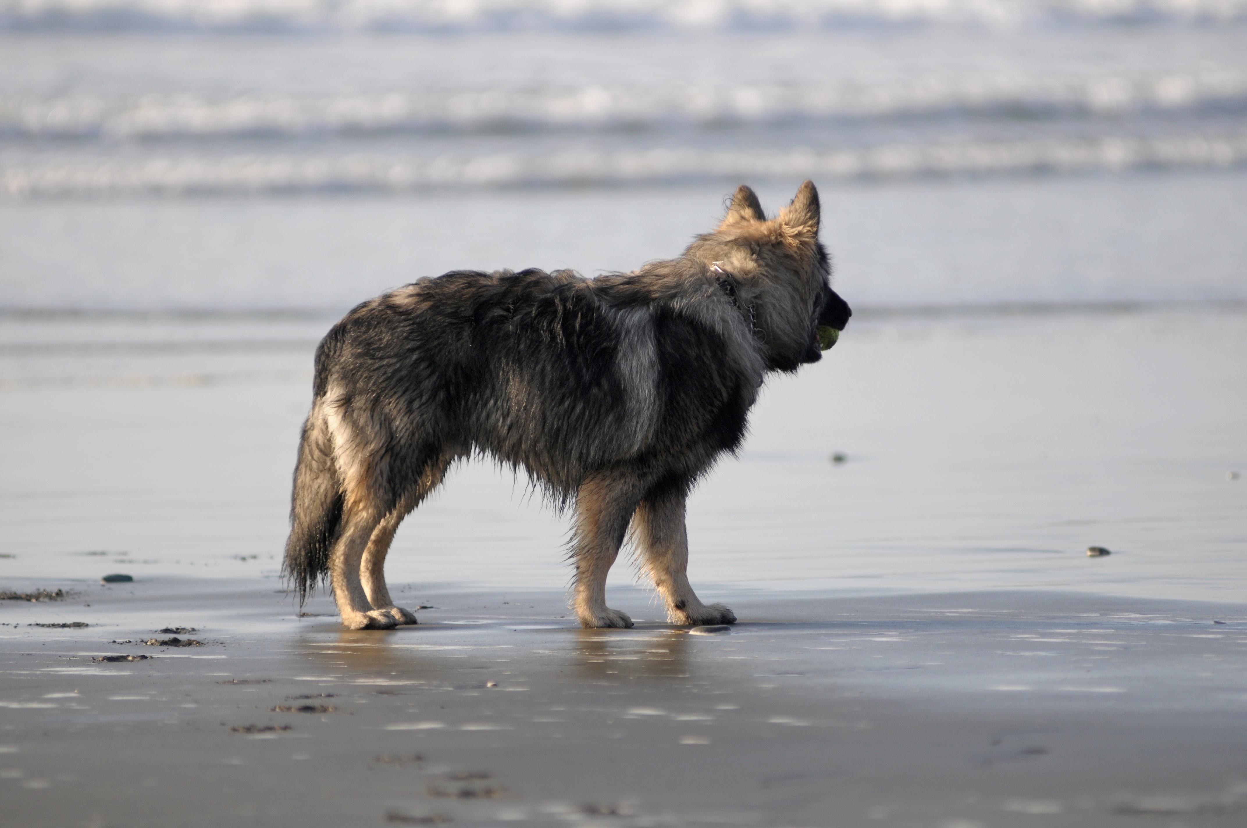 Красивая американская эльзасская собака на берегу моря фото