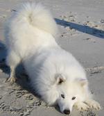 Nice American Eskimo Dog