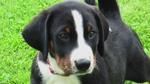 Nice Appenzeller Sennenhund