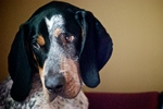 Nice Bluetick Coonhound dog