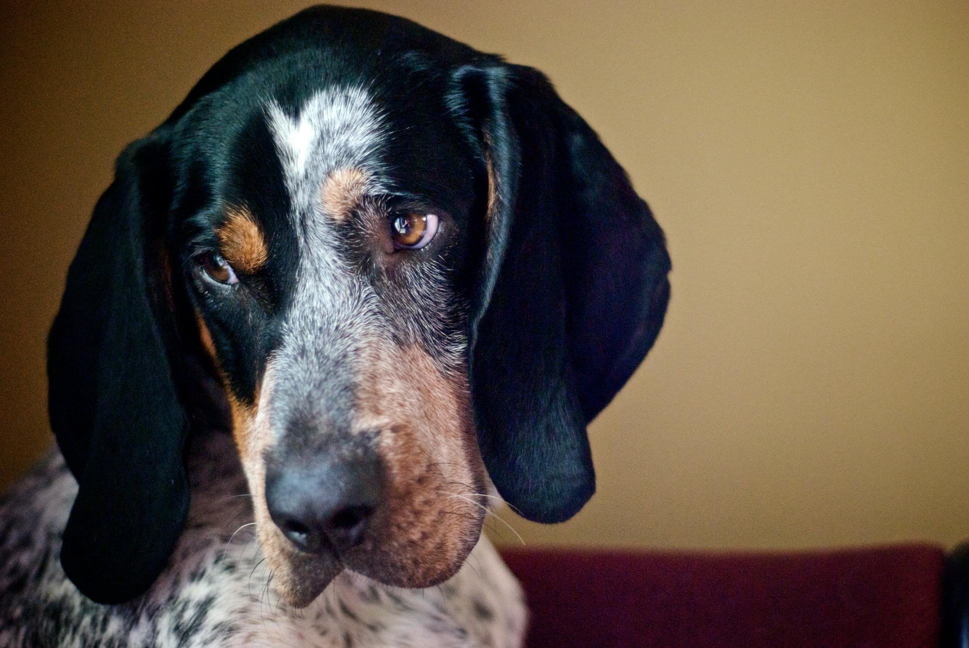 Nice Bluetick Coonhound dog wallpaper