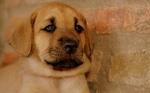 Nice Broholmer puppy