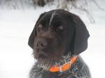 Nice Cesky Fousek dog winter