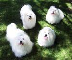 Милые собаки котон-де-тулеар