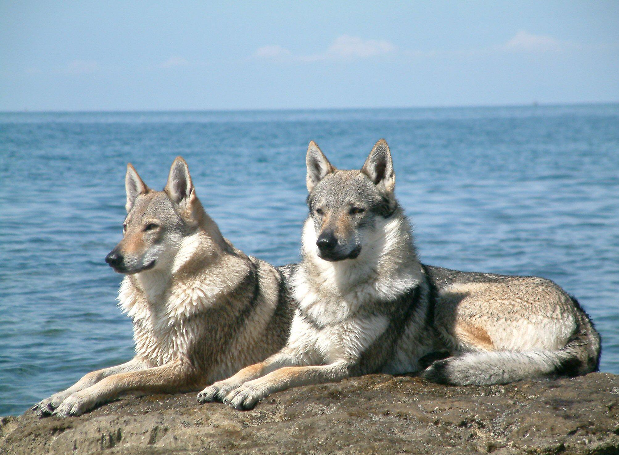 Милые чехословацкие волчьи собаки на фоне моря фото