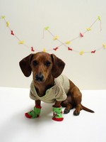 Nice Dachshund in Christmas Day