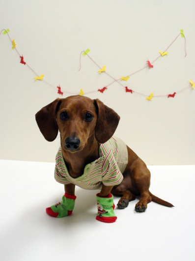 Nice Dachshund in Christmas Day фото