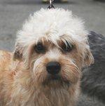 Nice Dandie Dinmont Terrier dog