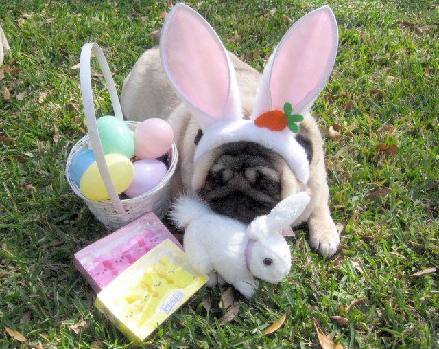 Nice Easter Pug wallpaper