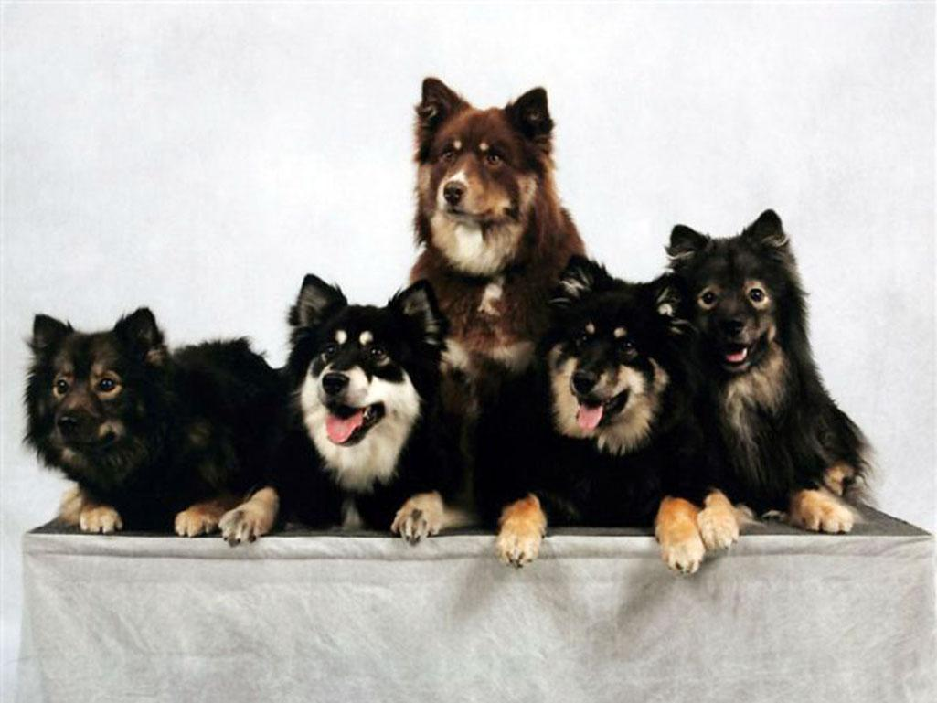 Nice Finnish Lapphund dogs  wallpaper