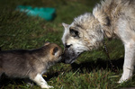 Nice Greenland dog and her baby