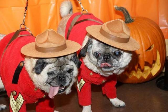 Nice Halloween Pug dogs wallpaper