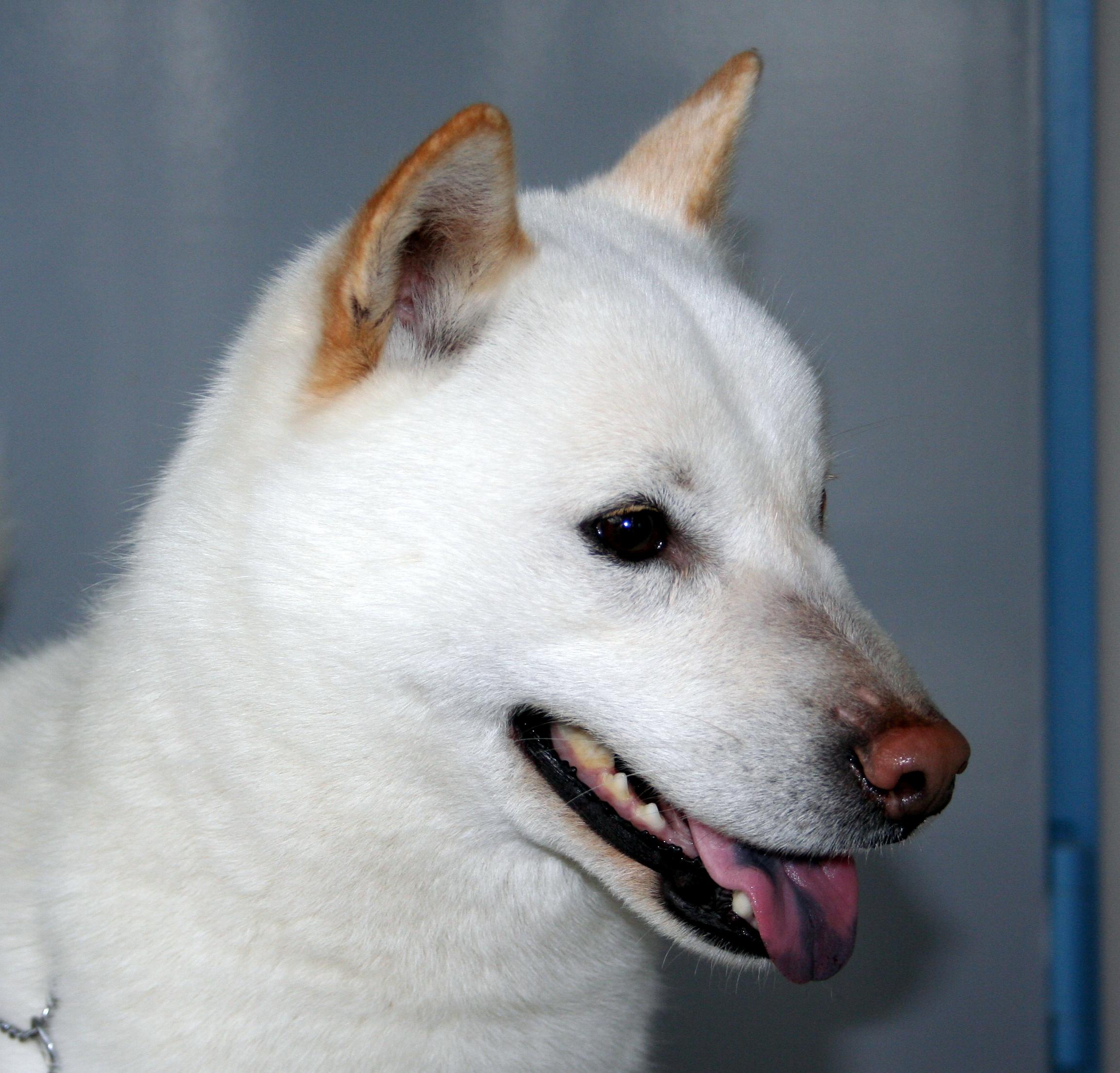 Хорошая собака айну фото