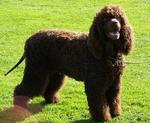 Nice Irish Water Spaniel dog
