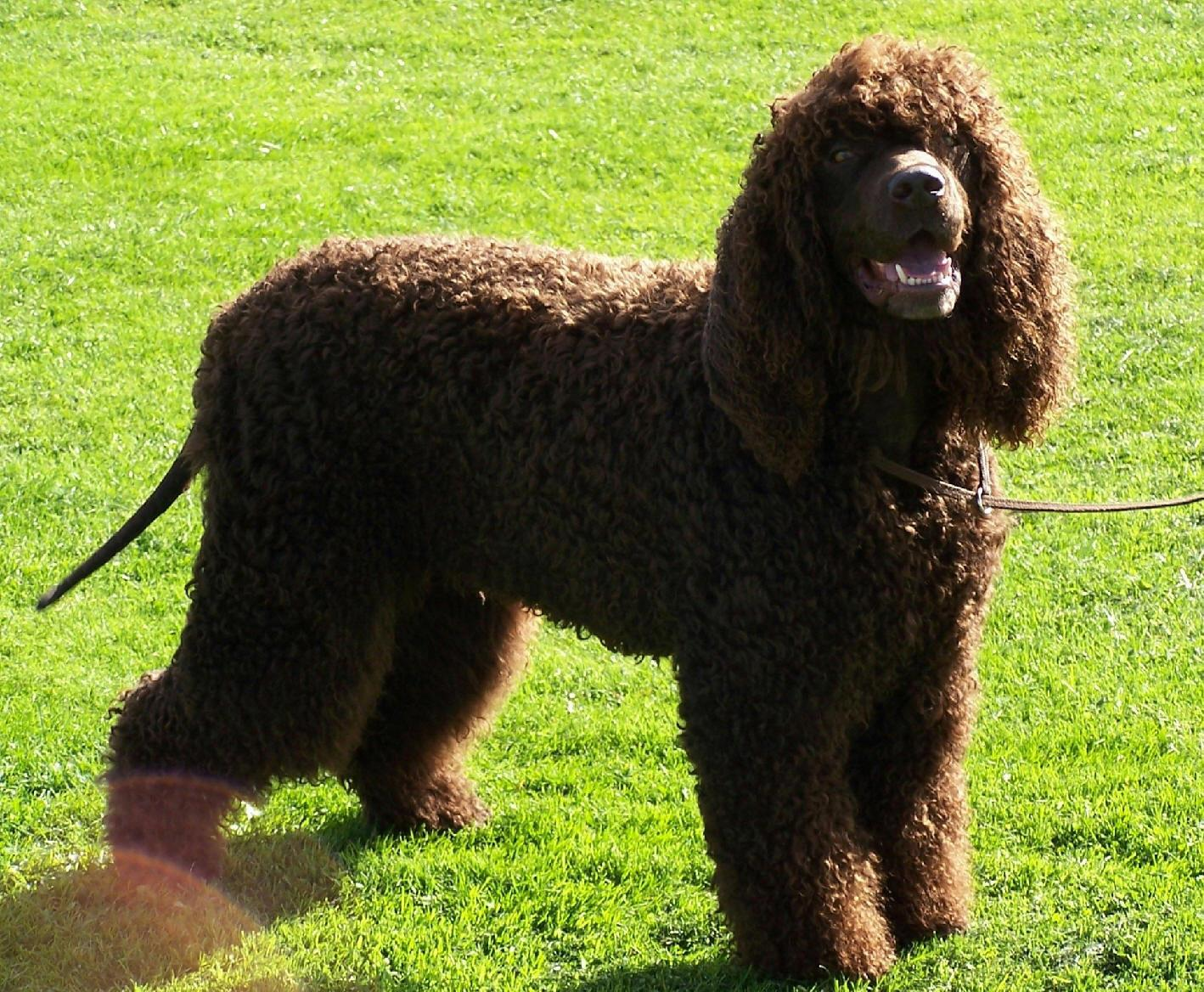 Nice Irish Water Spaniel dog wallpaper