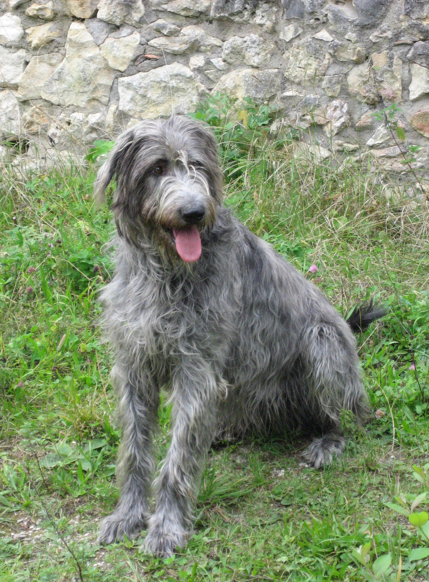 Nice Irish Wolfhound dog  wallpaper