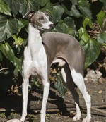 Nice Italian Greyhound dog