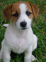 Nice Jack Russell Terrier dog
