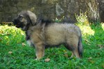 Nice Karst Shepherd dog