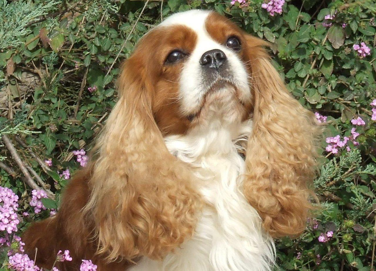 Nice King Charles Spaniel dog wallpaper