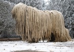 Nice Komondor dog