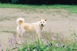 Nice Korean Jindo Dog
