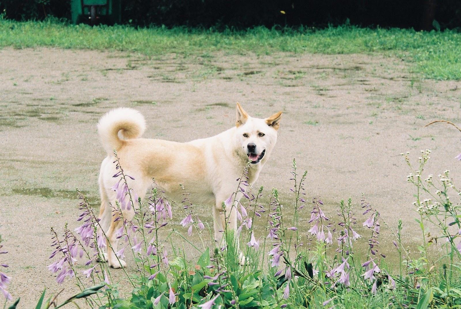 Хорошая корейская собака Хиндо фото