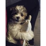 Nice Kyi-Leo dog