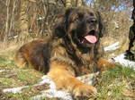 Nice Leonberger dog
