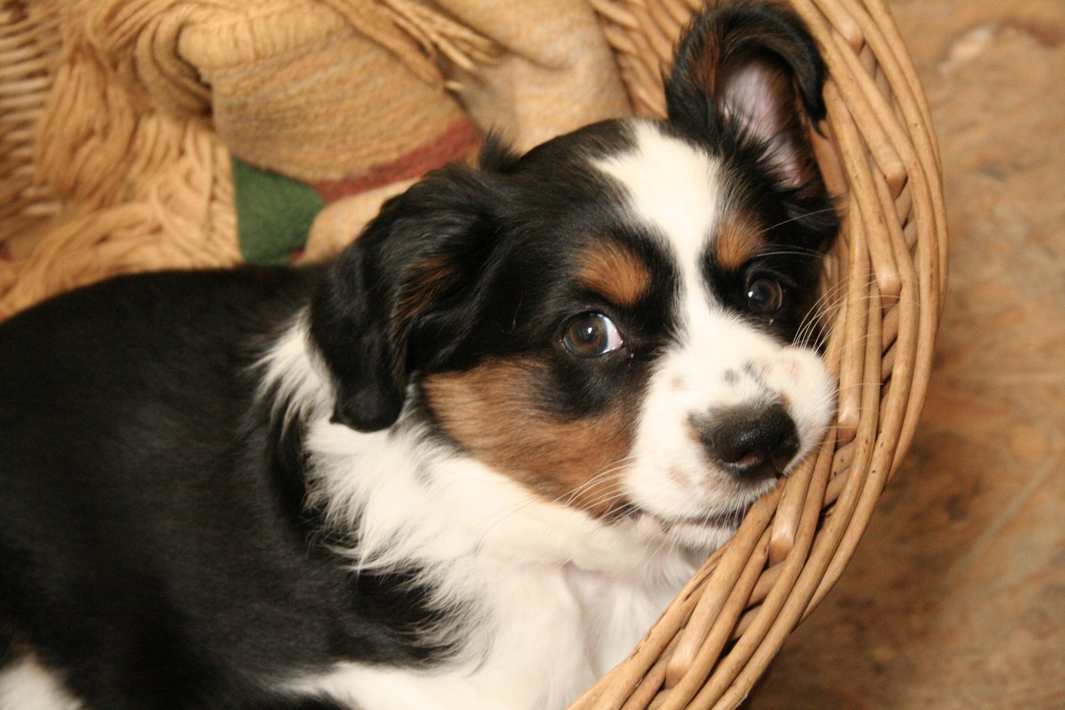Add photos Nice Miniature Australian Shepherd dog in your blog: